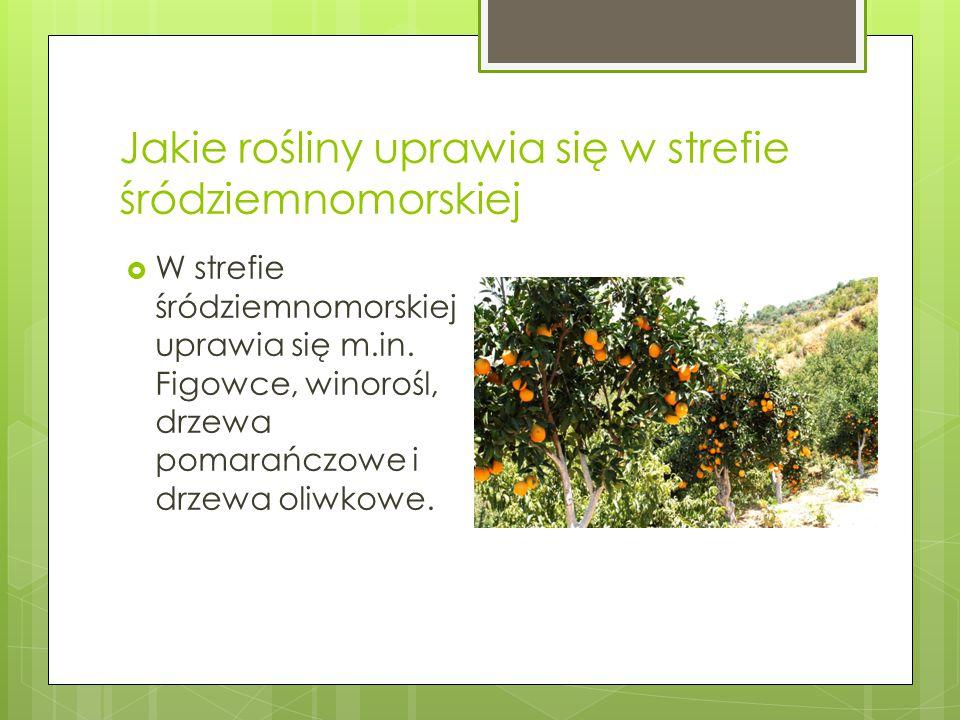 Jakie rośliny uprawia się w strefie śródziemnomorskiej  W strefie śródziemnomorskiej uprawia się m.in. Figowce, winorośl, drzewa pomarańczowe i drzew