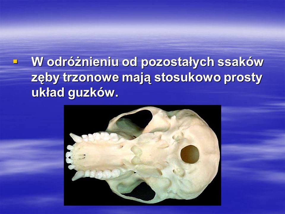  W odróżnieniu od pozostałych ssaków zęby trzonowe mają stosukowo prosty układ guzków.
