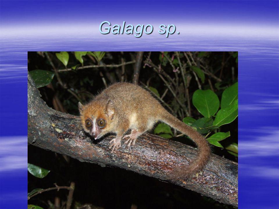  Lokomocja.Środek ciężkości u naczelnych jest bardziej kaudalny (doogonowy) niż u innych ssaków.
