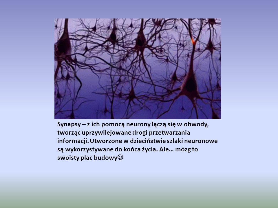 Synapsy – z ich pomocą neurony łączą się w obwody, tworząc uprzywilejowane drogi przetwarzania informacji. Utworzone w dzieciństwie szlaki neuronowe s