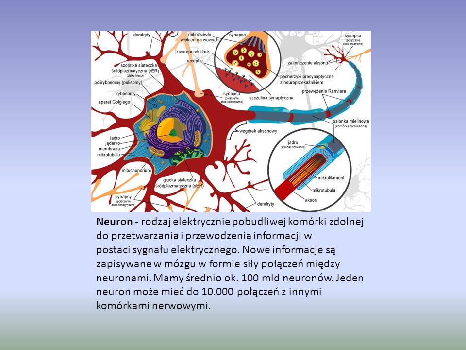 Neuron - rodzaj elektrycznie pobudliwej komórki zdolnej do przetwarzania i przewodzenia informacji w postaci sygnału elektrycznego. Nowe informacje są