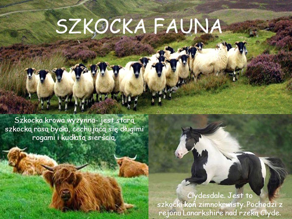 Szkocka krowa wyżynna- jest starą szkocką rasą bydła, cechującą się długimi rogami i kudłatą sierścią. Clydesdale. Jest to szkocki koń zimnokrwisty. P