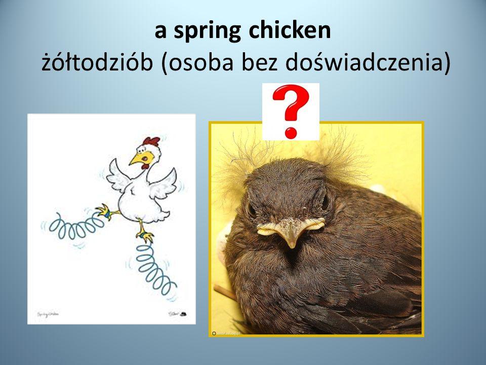 a spring chicken żółtodziób (osoba bez doświadczenia)