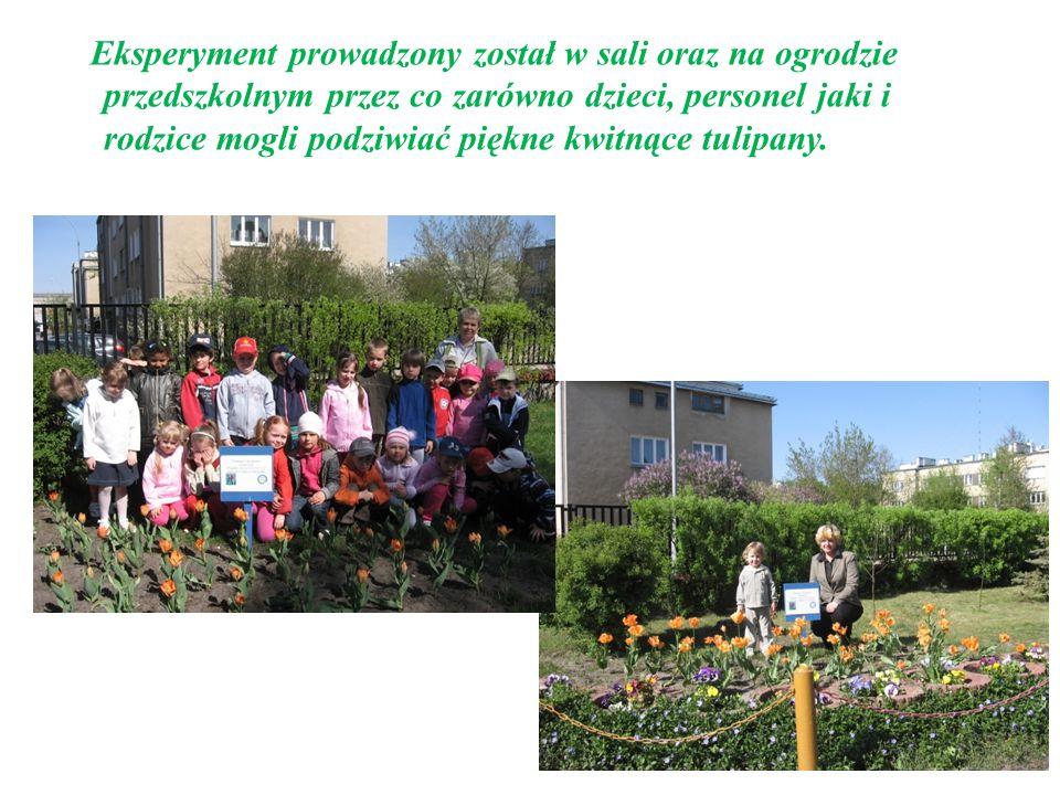 Eksperyment prowadzony został w sali oraz na ogrodzie przedszkolnym przez co zarówno dzieci, personel jaki i rodzice mogli podziwiać piękne kwitnące tulipany.
