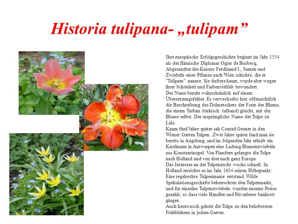 """Historia tulipana- """"tulipam Ihre europäische Erfolgsgeschichte beginnt im Jahr 1554 als der flämische Diplomat Ogier de Busbecq, Abgesandter des Kaisers Ferdinand I., Samen und Zwiebeln einer Pflanze nach Wien schickte, die er Tulipam nannte."""