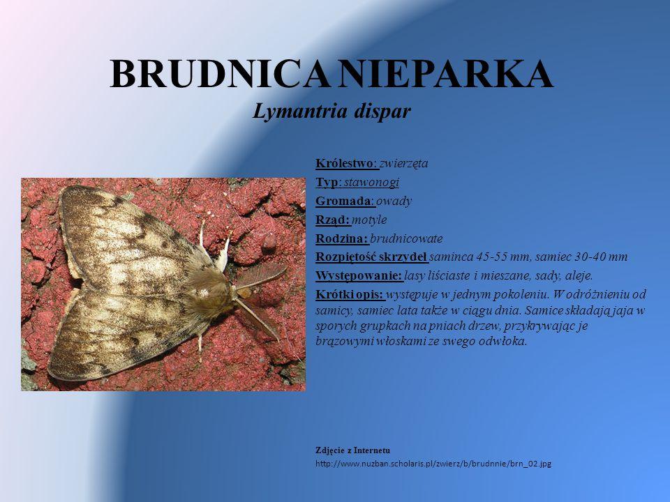 BRUDNICA NIEPARKA Lymantria dispar Królestwo: zwierzęta Typ: stawonogi Gromada: owady Rząd: motyle Rodzina: brudnicowate Rozpiętość skrzydeł saminca 4