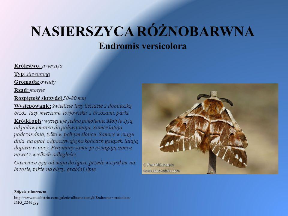 NASIERSZYCA RÓŻNOBARWNA Endromis versicolora Królestwo: zwierzęta Typ: stawonogi Gromada: owady Rząd: motyle Rozpiętość skrzydeł 50-80 mm Występowanie