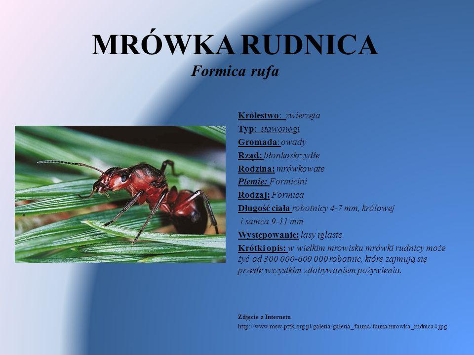 MRÓWKA RUDNICA Formica rufa Królestwo: zwierzęta Typ: stawonogi Gromada: owady Rząd: błonkoskrzydłe Rodzina: mrówkowate Plemię: Formicini Rodzaj: Form