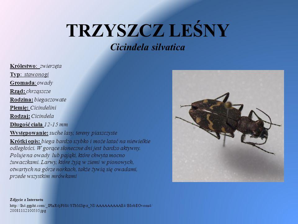 TRZYSZCZ LEŚNY Cicindela silvatica Królestwo: zwierzęta Typ: stawonogi Gromada: owady Rząd: chrząszcze Rodzina: biegaczowate Plemię: Cicindelini Rodza