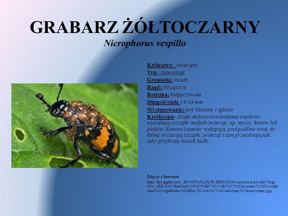 GRABARZ ŻÓŁTOCZARNY Nicrophorus vespillo Królestwo: zwierzęta Typ: stawonogi Gromada: owady Rząd: chrząszcze Rodzina: biegaczowate Długość ciała 14-16
