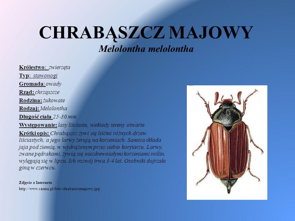 CHRABĄSZCZ MAJOWY Melolontha melolontha Królestwo: zwierzęta Typ: stawonogi Gromada: owady Rząd: chrząszcze Rodzina: żukowate Rodzaj: Melolontha Długo