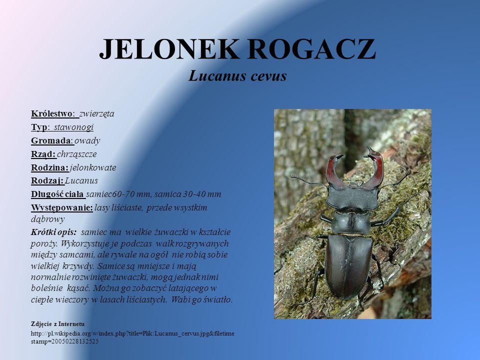 JELONEK ROGACZ Lucanus cevus Królestwo: zwierzęta Typ: stawonogi Gromada: owady Rząd: chrząszcze Rodzina: jelonkowate Rodzaj: Lucanus Długość ciała sa