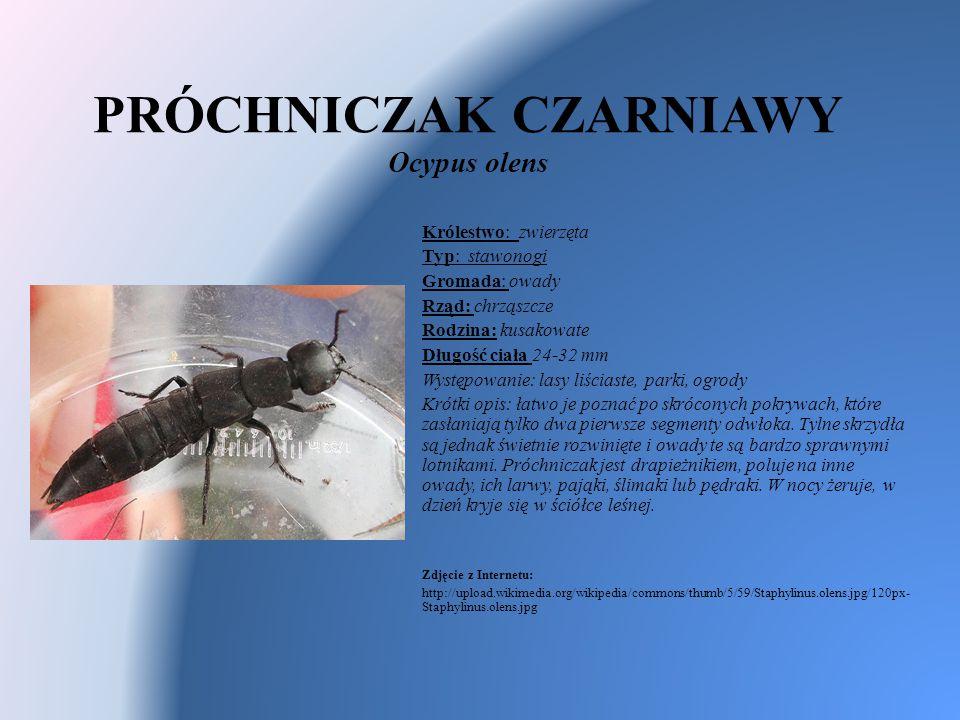 PRÓCHNICZAK CZARNIAWY Ocypus olens Królestwo: zwierzęta Typ: stawonogi Gromada: owady Rząd: chrząszcze Rodzina: kusakowate Długość ciała 24-32 mm Wyst