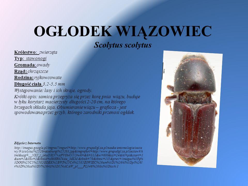 OGŁODEK WIĄZOWIEC Scolytus scolytus Królestwo: zwierzęta Typ: stawonogi Gromada: owady Rząd: chrząszcze Rodzina: ryjkowcowate Długość ciała 3,2-5,5 mm