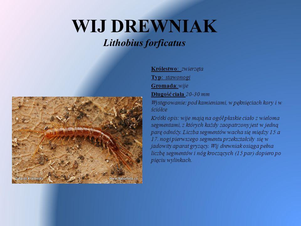 WIJ DREWNIAK Lithobius forficatus Królestwo: zwierzęta Typ: stawonogi Gromada: wije Długość ciała 20-30 mm Występowanie: pod kamieniami, w pęknięciach