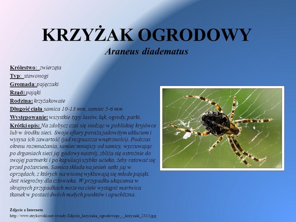 KRZYŻAK OGRODOWY Araneus diadematus Królestwo: zwierzęta Typ: stawonogi Gromada: pajęczaki Rząd: pająki Rodzina: krzyżakowate Długość ciała samica 10-