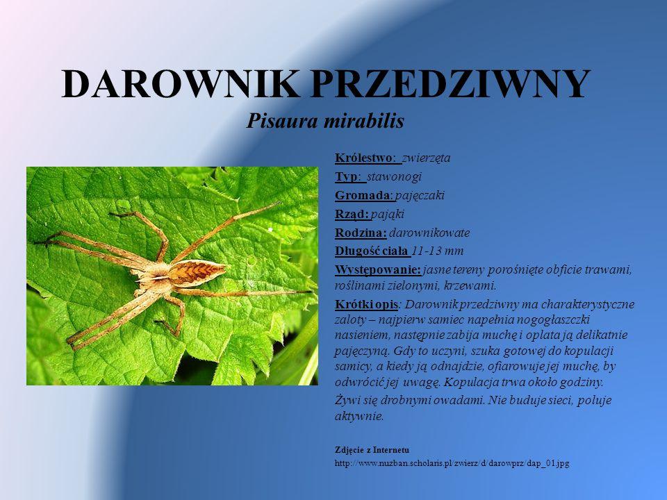 DAROWNIK PRZEDZIWNY Pisaura mirabilis Królestwo: zwierzęta Typ: stawonogi Gromada: pajęczaki Rząd: pająki Rodzina: darownikowate Długość ciała 11-13 m