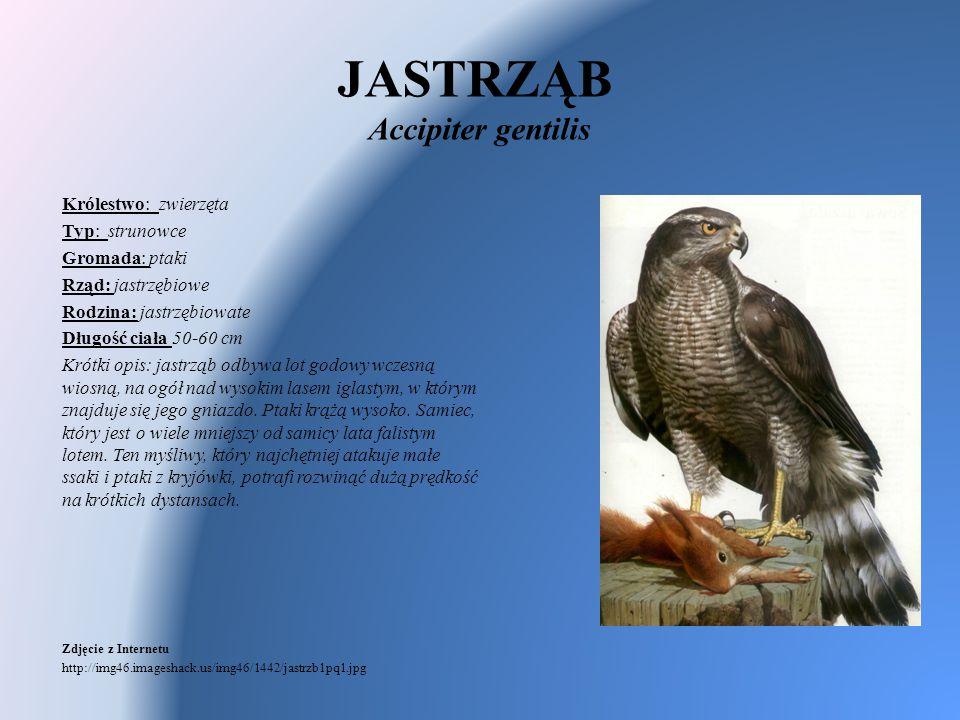 JASTRZĄB Accipiter gentilis Królestwo: zwierzęta Typ: strunowce Gromada: ptaki Rząd: jastrzębiowe Rodzina: jastrzębiowate Długość ciała 50-60 cm Krótk