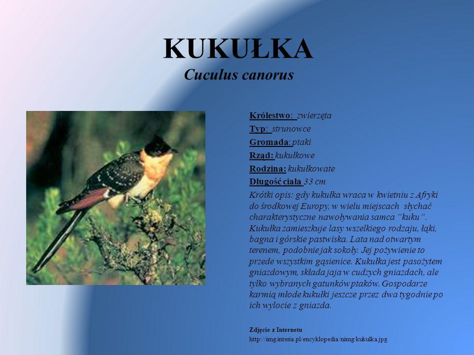 KUKUŁKA Cuculus canorus Królestwo: zwierzęta Typ: strunowce Gromada: ptaki Rząd: kukułkowe Rodzina: kukułkowate Długość ciała 33 cm Krótki opis: gdy k