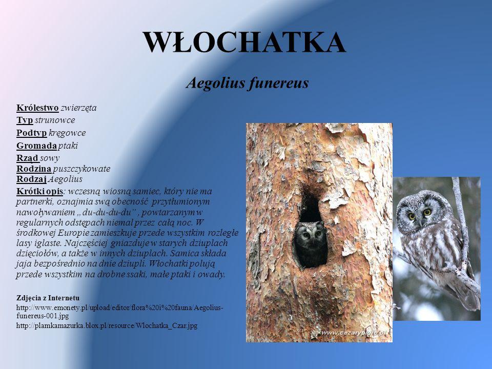 WŁOCHATKA Aegolius funereus Królestwo zwierzęta Typ strunowce Podtyp kręgowce Gromada ptaki Rząd sowy Rodzina puszczykowate Rodzaj Aegolius Krótki opi