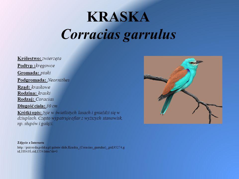 KRASKA Corracias garrulus Królestwo: zwierzęta Podtyp :kręgowce Gromada: ptaki Podgromada: Neornithes Rząd: kraskowe Rodzina: kraski Rodzaj: Coracias