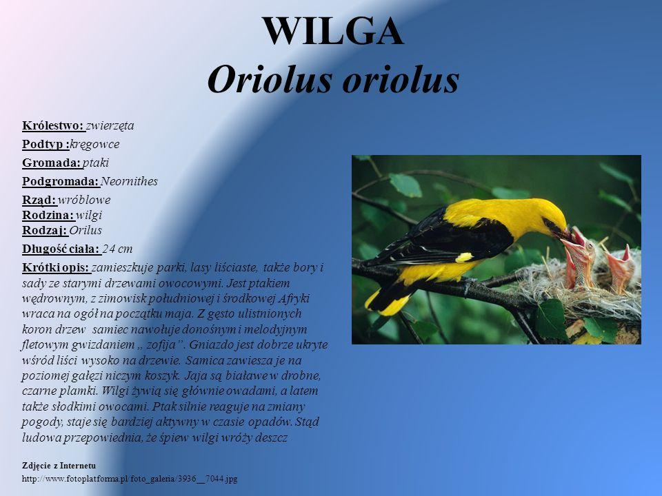 WILGA Oriolus oriolus Królestwo: zwierzęta Podtyp :kręgowce Gromada: ptaki Podgromada: Neornithes Rząd: wróblowe Rodzina: wilgi Rodzaj: Orilus Długość