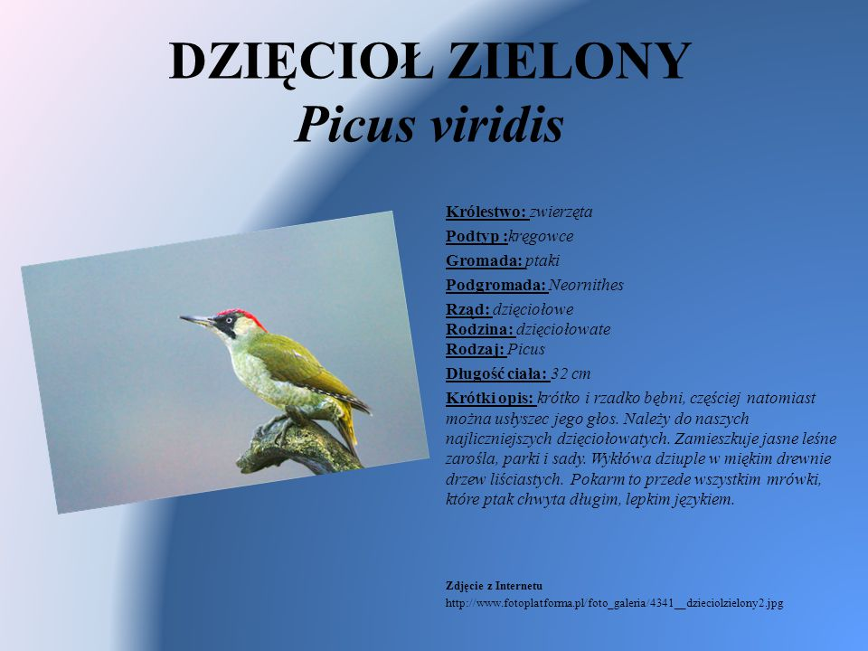 DZIĘCIOŁ ZIELONY Picus viridis Królestwo: zwierzęta Podtyp :kręgowce Gromada: ptaki Podgromada: Neornithes Rząd: dzięciołowe Rodzina: dzięciołowate Ro