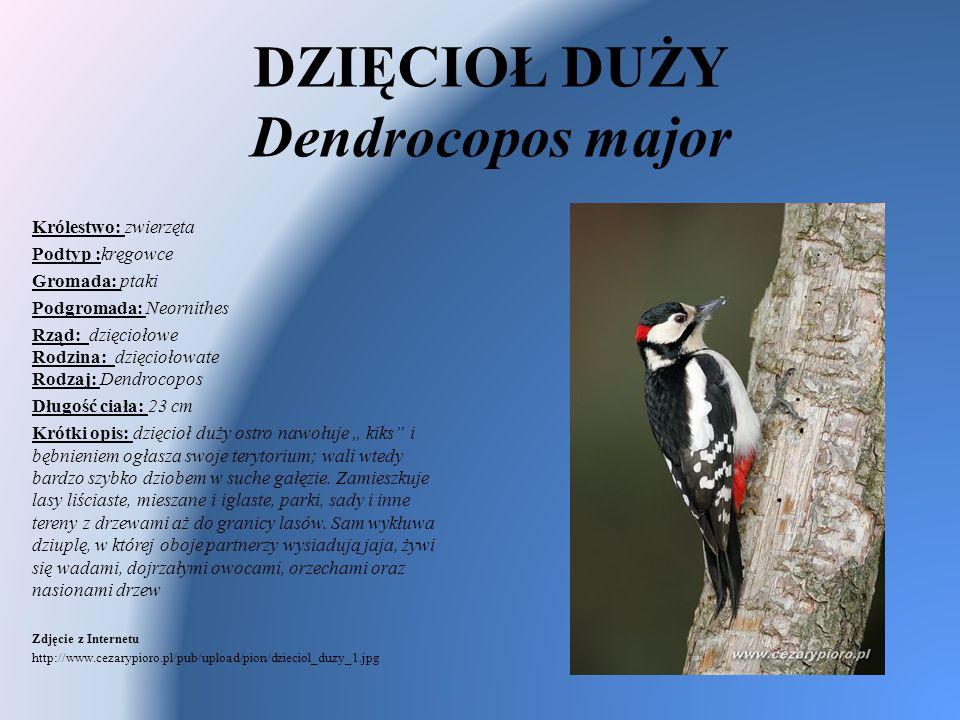 DZIĘCIOŁ DUŻY Dendrocopos major Królestwo: zwierzęta Podtyp :kręgowce Gromada: ptaki Podgromada: Neornithes Rząd: dzięciołowe Rodzina: dzięciołowate R