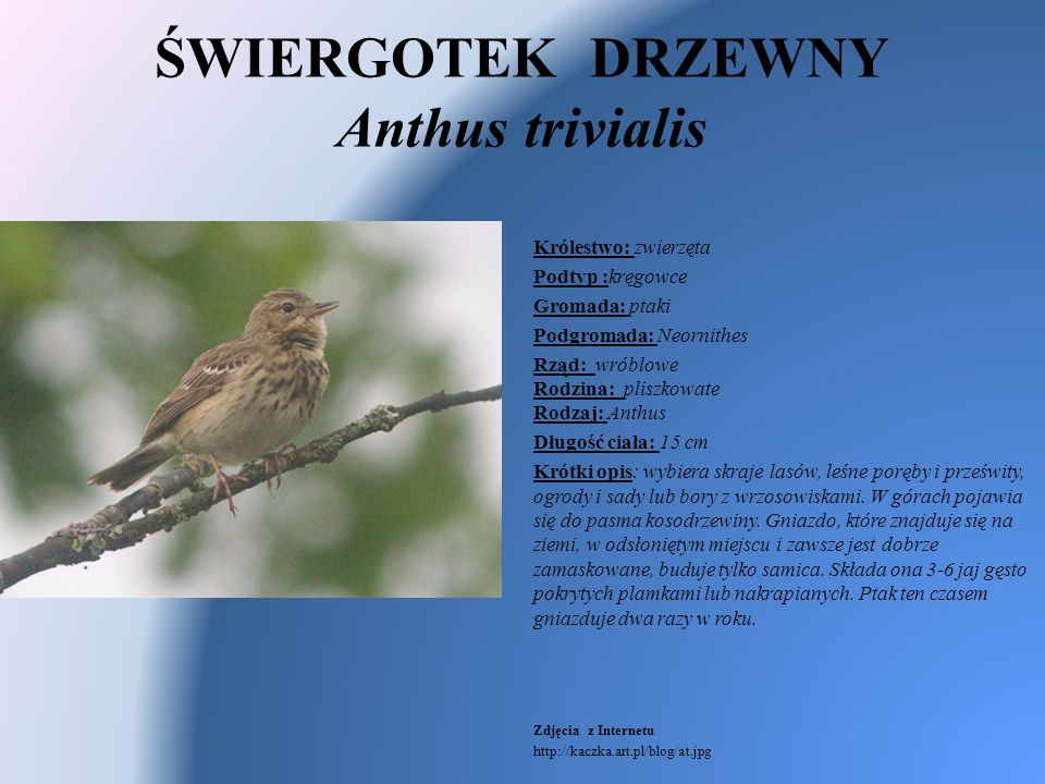 ŚWIERGOTEK DRZEWNY Anthus trivialis Królestwo: zwierzęta Podtyp :kręgowce Gromada: ptaki Podgromada: Neornithes Rząd: wróblowe Rodzina: pliszkowate Ro
