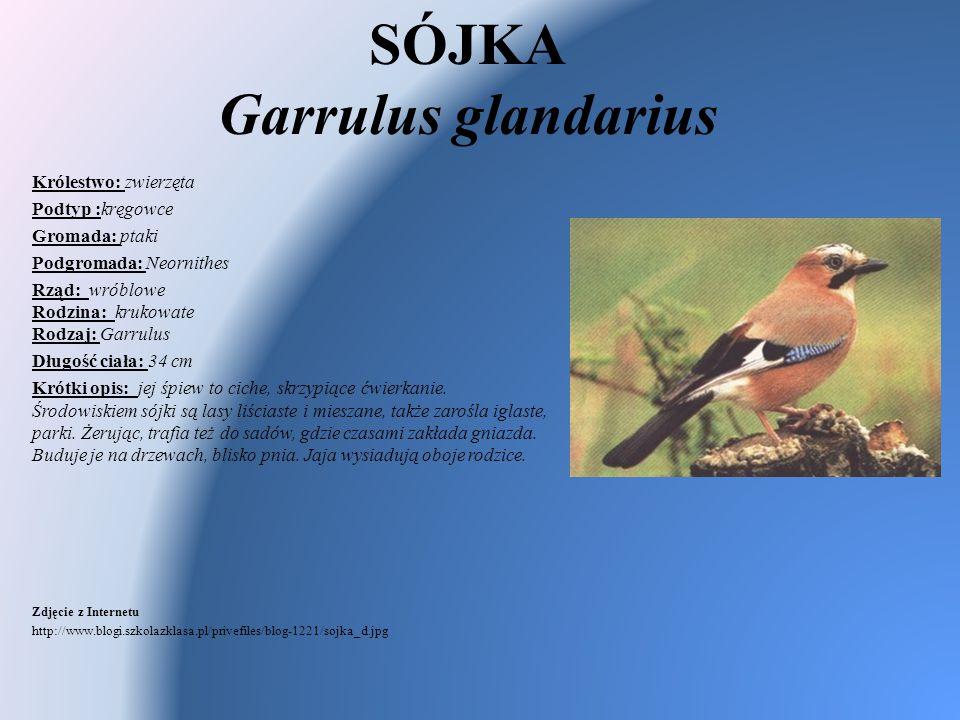 SÓJKA Garrulus glandarius Królestwo: zwierzęta Podtyp :kręgowce Gromada: ptaki Podgromada: Neornithes Rząd: wróblowe Rodzina: krukowate Rodzaj: Garrul