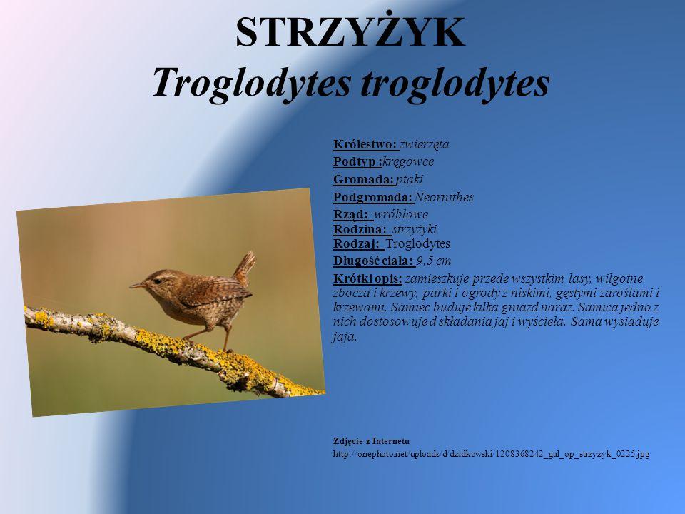STRZYŻYK Troglodytes troglodytes Królestwo: zwierzęta Podtyp :kręgowce Gromada: ptaki Podgromada: Neornithes Rząd: wróblowe Rodzina: strzyżyki Rodzaj: