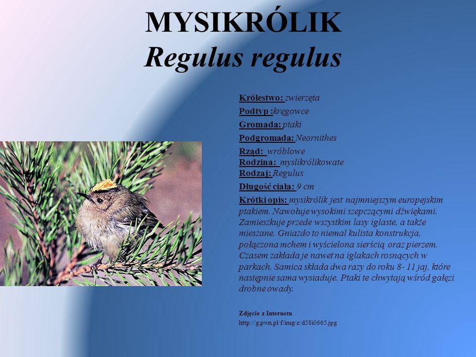MYSIKRÓLIK Regulus regulus Królestwo: zwierzęta Podtyp :kręgowce Gromada: ptaki Podgromada: Neornithes Rząd: wróblowe Rodzina: myslikrólikowate Rodzaj