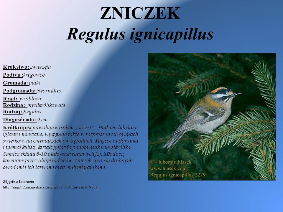 ZNICZEK Regulus ignicapillus Królestwo: zwierzęta Podtyp :kręgowce Gromada: ptaki Podgromada: Neornithes Rząd: wróblowe Rodzina: myslikrólikowate Rodz