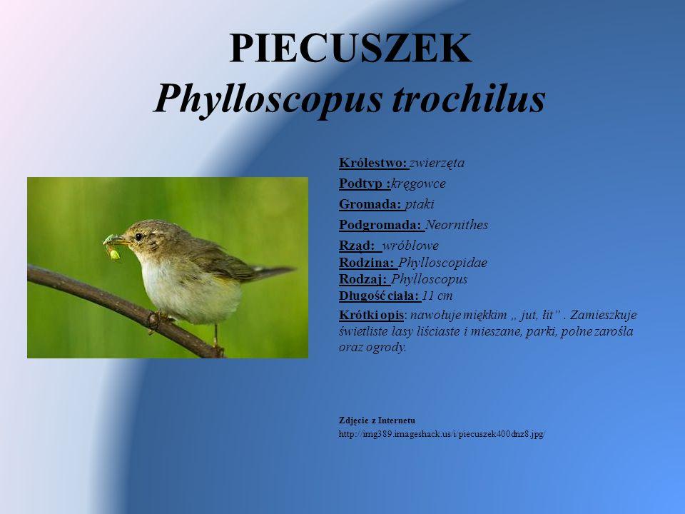 PIECUSZEK Phylloscopus trochilus Królestwo: zwierzęta Podtyp :kręgowce Gromada: ptaki Podgromada: Neornithes Rząd: wróblowe Rodzina: Phylloscopidae Ro