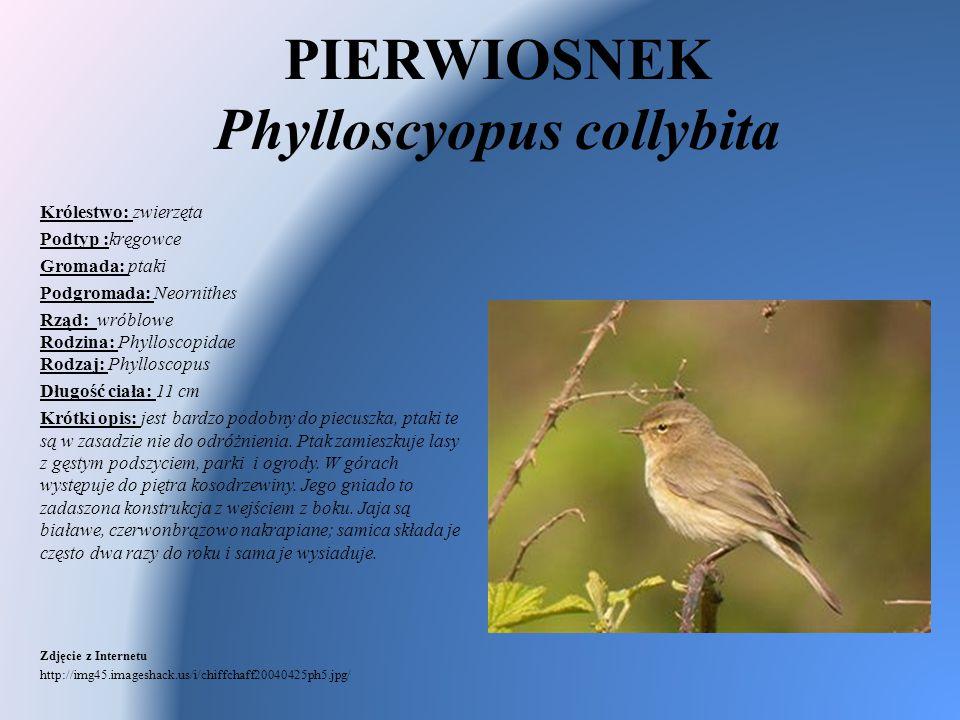 PIERWIOSNEK Phylloscyopus collybita Królestwo: zwierzęta Podtyp :kręgowce Gromada: ptaki Podgromada: Neornithes Rząd: wróblowe Rodzina: Phylloscopidae