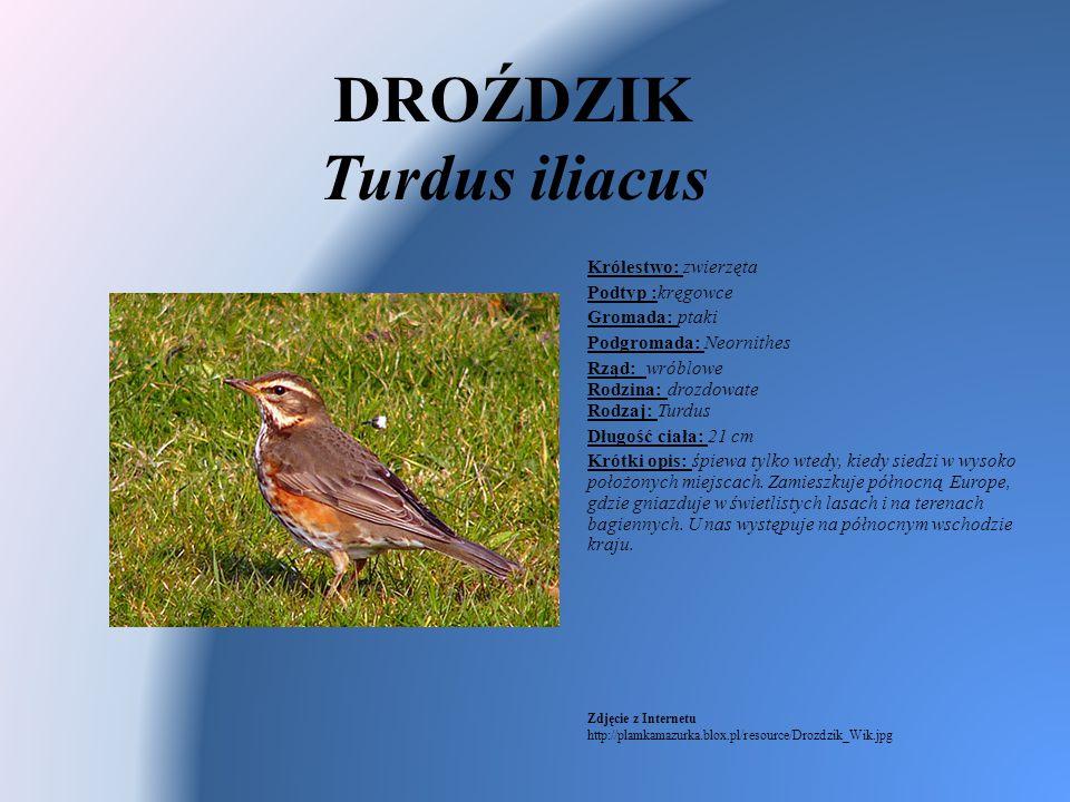 DROŹDZIK Turdus iliacus Królestwo: zwierzęta Podtyp :kręgowce Gromada: ptaki Podgromada: Neornithes Rząd: wróblowe Rodzina: drozdowate Rodzaj: Turdus