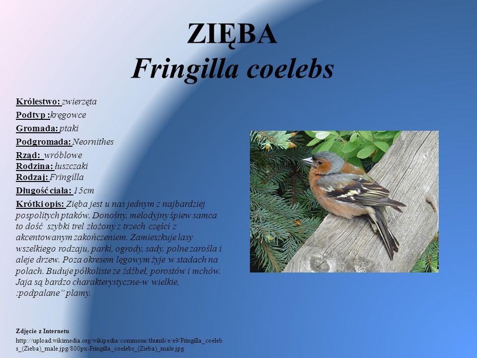 ZIĘBA Fringilla coelebs Królestwo: zwierzęta Podtyp :kręgowce Gromada: ptaki Podgromada: Neornithes Rząd: wróblowe Rodzina: łuszczaki Rodzaj: Fringill