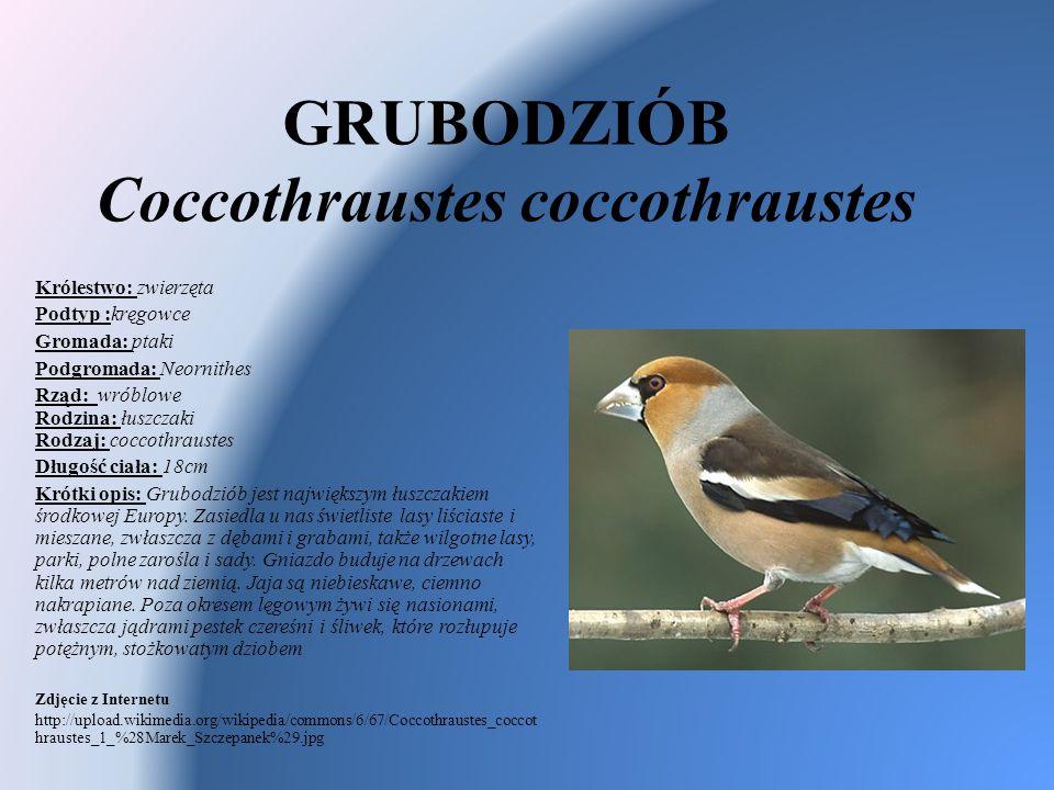 GRUBODZIÓB Coccothraustes coccothraustes Królestwo: zwierzęta Podtyp :kręgowce Gromada: ptaki Podgromada: Neornithes Rząd: wróblowe Rodzina: łuszczaki