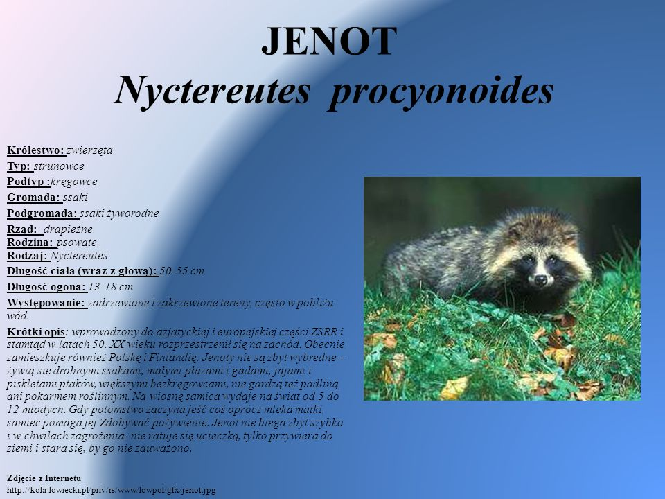 JENOT Nyctereutes procyonoides Królestwo: zwierzęta Typ: strunowce Podtyp :kręgowce Gromada: ssaki Podgromada: ssaki żyworodne Rząd: drapieżne Rodzina