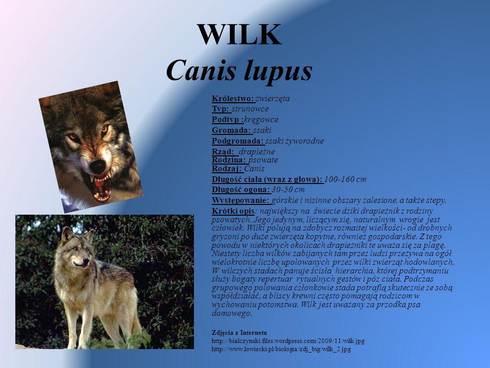 WILK Canis lupus Królestwo: zwierzęta Typ: strunowce Podtyp :kręgowce Gromada: ssaki Podgromada: ssaki żyworodne Rząd: drapieżne Rodzina: psowate Rodz