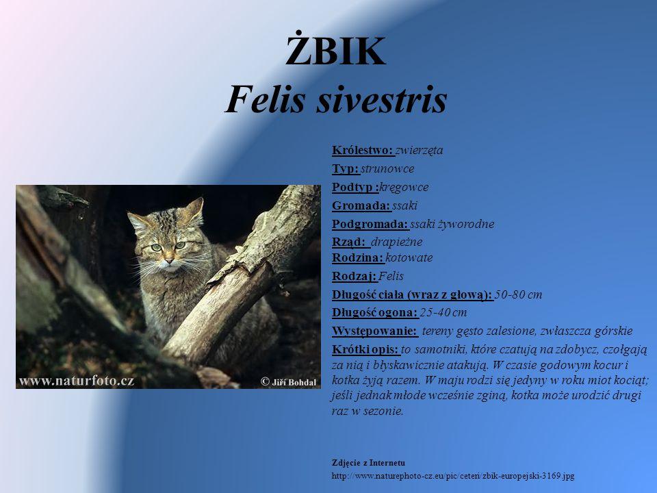 ŻBIK Felis sivestris Królestwo: zwierzęta Typ: strunowce Podtyp :kręgowce Gromada: ssaki Podgromada: ssaki żyworodne Rząd: drapieżne Rodzina: kotowate
