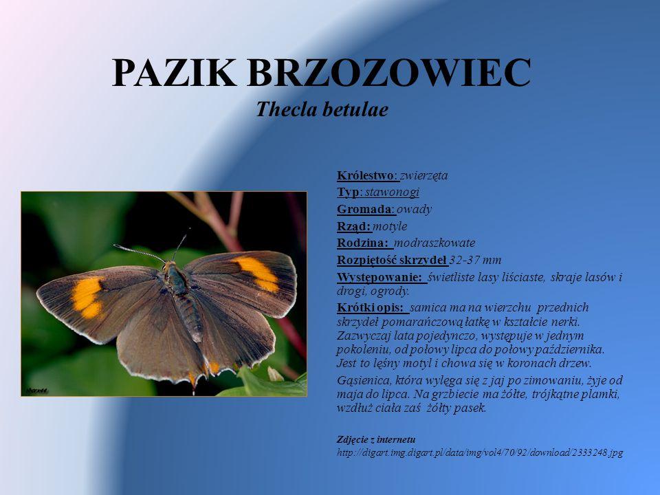 PAZIK BRZOZOWIEC Thecla betulae Królestwo: zwierzęta Typ: stawonogi Gromada: owady Rząd: motyle Rodzina: modraszkowate Rozpiętość skrzydeł 32-37 mm Wy