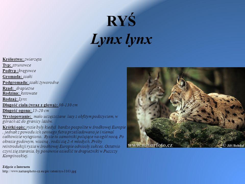 RYŚ Lynx lynx Królestwo: zwierzęta Typ: strunowce Podtyp :kręgowce Gromada: ssaki Podgromada: ssaki żyworodne Rząd: drapieżne Rodzina: kotowate Rodzaj