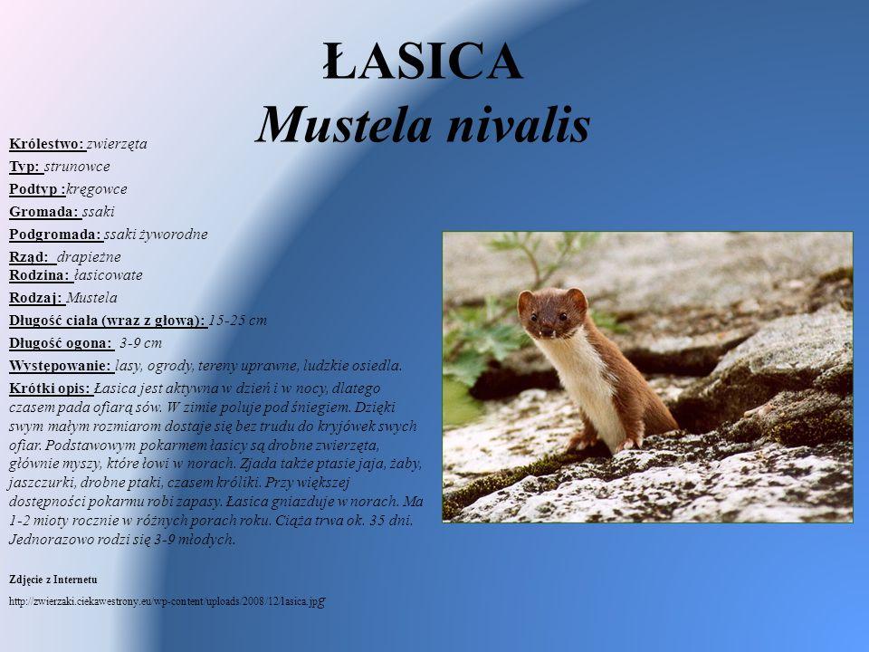 ŁASICA Mustela nivalis Królestwo: zwierzęta Typ: strunowce Podtyp :kręgowce Gromada: ssaki Podgromada: ssaki żyworodne Rząd: drapieżne Rodzina: łasico