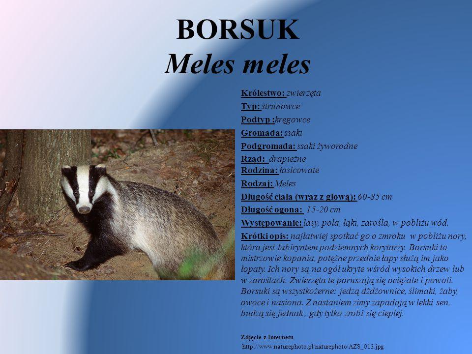 BORSUK Meles meles Królestwo: zwierzęta Typ: strunowce Podtyp :kręgowce Gromada: ssaki Podgromada: ssaki żyworodne Rząd: drapieżne Rodzina: łasicowate