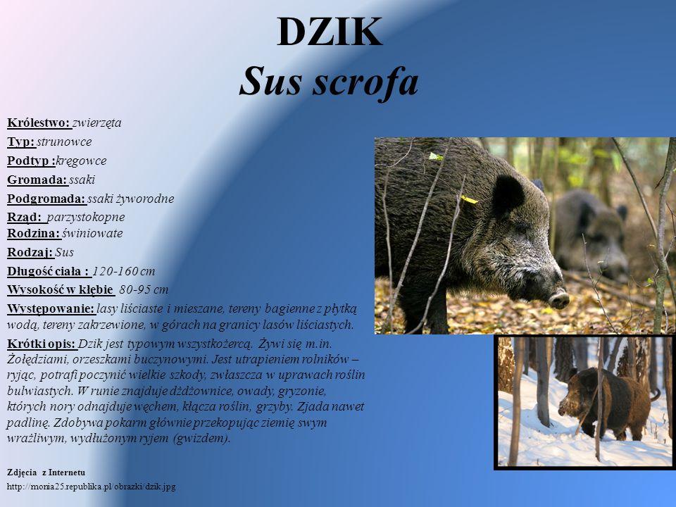 DZIK Sus scrofa Królestwo: zwierzęta Typ: strunowce Podtyp :kręgowce Gromada: ssaki Podgromada: ssaki żyworodne Rząd: parzystokopne Rodzina: świniowat