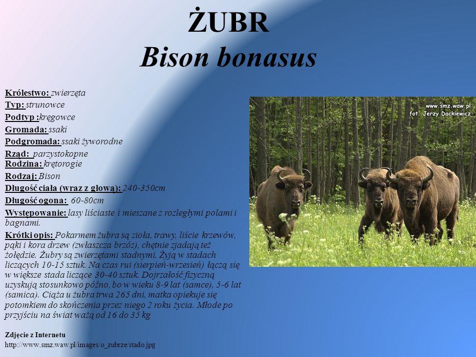 ŻUBR Bison bonasus Królestwo: zwierzęta Typ: strunowce Podtyp :kręgowce Gromada: ssaki Podgromada: ssaki żyworodne Rząd: parzystokopne Rodzina: krętor