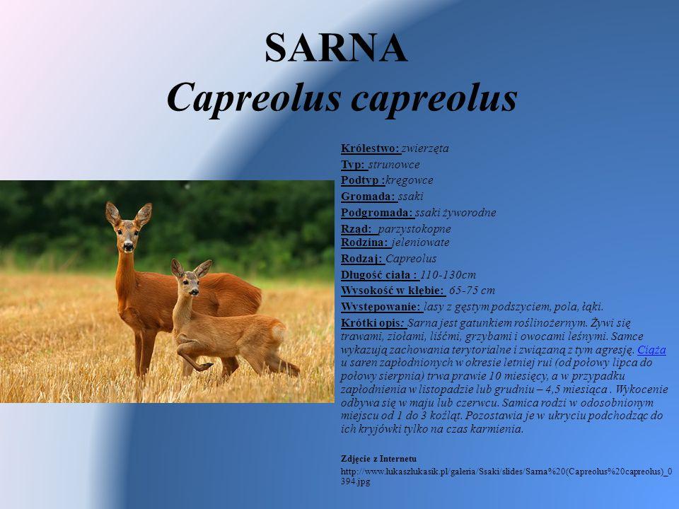 SARNA Capreolus capreolus Królestwo: zwierzęta Typ: strunowce Podtyp :kręgowce Gromada: ssaki Podgromada: ssaki żyworodne Rząd: parzystokopne Rodzina: