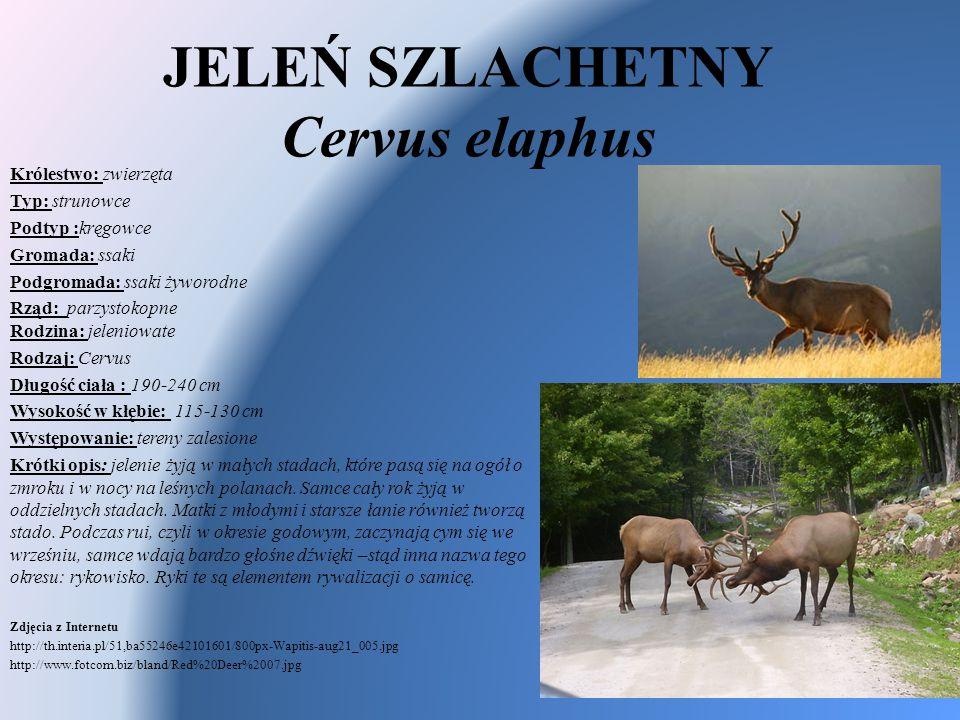 JELEŃ SZLACHETNY Cervus elaphus Królestwo: zwierzęta Typ: strunowce Podtyp :kręgowce Gromada: ssaki Podgromada: ssaki żyworodne Rząd: parzystokopne Ro