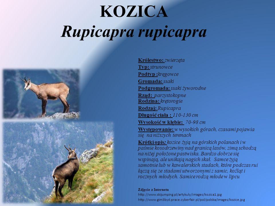 KOZICA Rupicapra rupicapra Królestwo: zwierzęta Typ: strunowce Podtyp :kręgowce Gromada: ssaki Podgromada: ssaki żyworodne Rząd: parzystokopne Rodzina